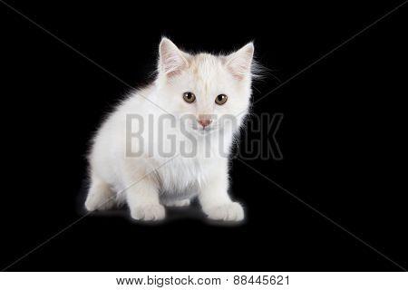 Angry Kurilian Bobtail Kitten