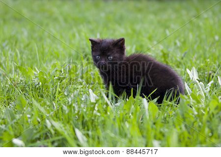 Black Kitten In The Grass