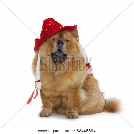Chow-chow Dog With Red Hat