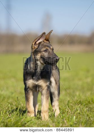 German Shepherd`s Puppy