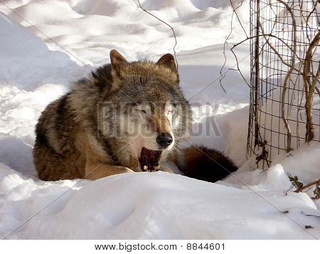 Jawing lobo en la nieve