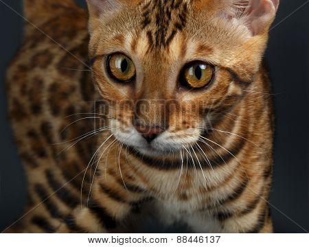 Closeup female Bengal Cat