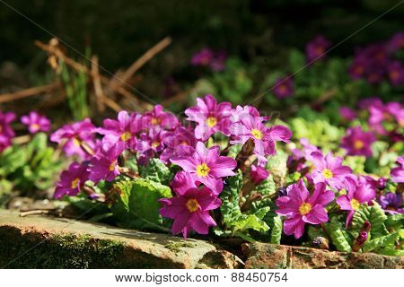 Primula cultivar, spring flower