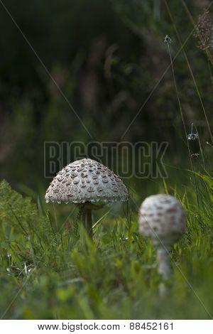 close up on a parasol mushroom, Boletus edulis, in the grass
