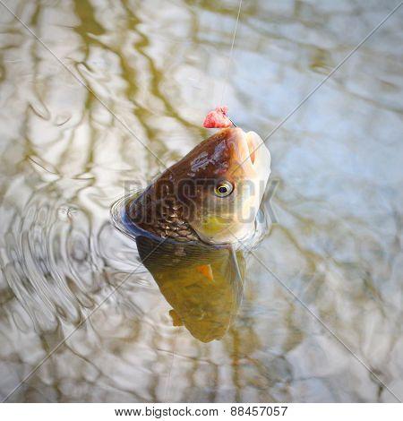 Catch of fish. European Chub (Squalius cephalus).