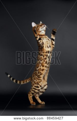 Playful Female Bengal Cat stands on Rear Legs