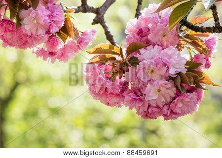 Pink Flowers Of Sakura In Park