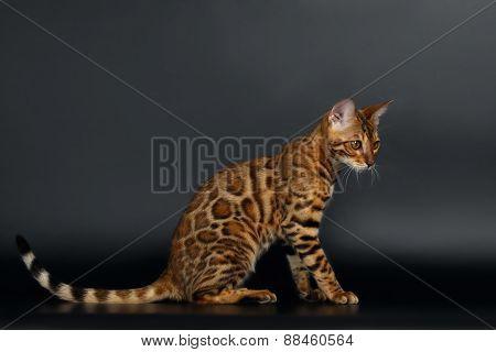 Closeup Playful Female Bengal Cat