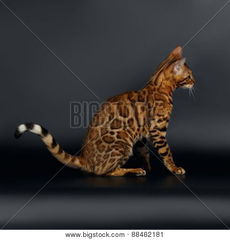 Closeup Playful Female Bengal Cat