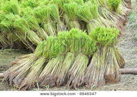 Thai Rice Seedlings