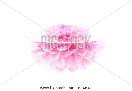Crimson Peony Flower, High Key, Isolated