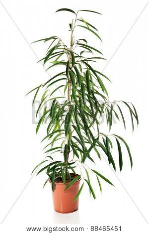 Photo of dracaena in a pot.