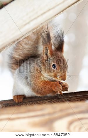 Squirrel Nibbles Nut
