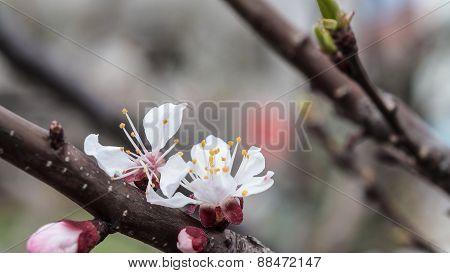 Flowering Apricot Tree In Spring