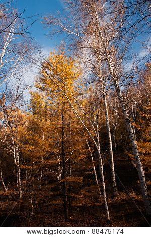 Autumn at Arshan, China