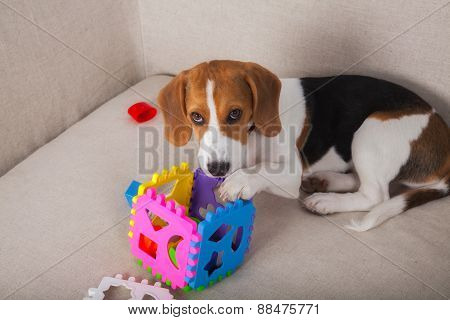 Beagle Playing On Sofa