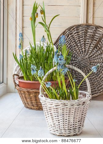 Cultivation Muscari And Fritillaria In The Rural Baskets