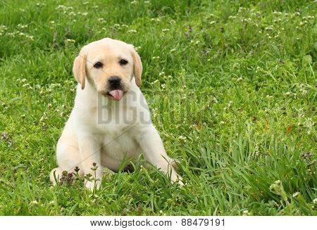 Yellow Labrador Puppy In Green Grass