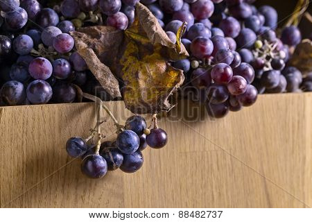 Crop Of Grapes For Wine Manufacture