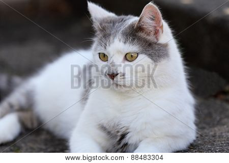 A Grey White Cat