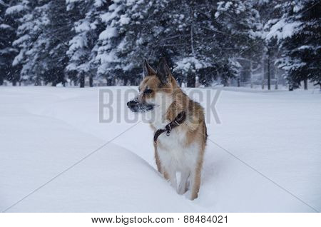 A dog is walking on a snow