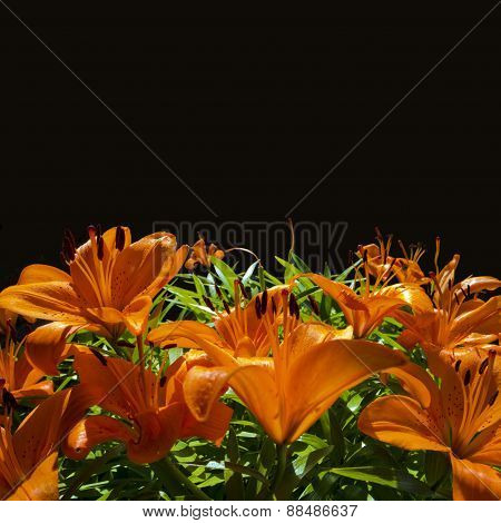 lilies and black background