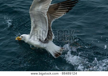 Seagull with open Wings
