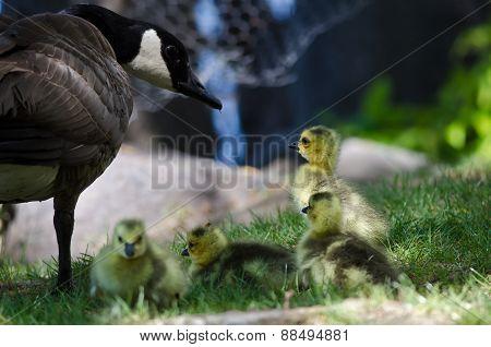 Newborn Goslings Staying Close To Mom