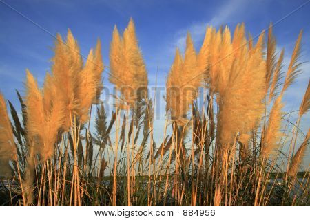 Pampas Grass Against A Blue Sky Late Afternoon