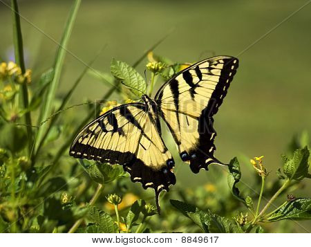 Yellow Swallow Butterfly