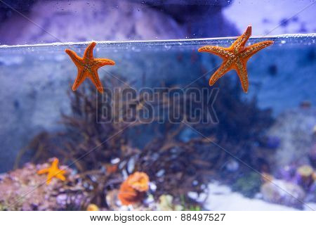 Two starfish floating in a tank with coral at the aquarium