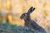 picture of hare  - European hare  - JPG