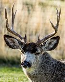 stock photo of mule  - Tired old mule deer buck resting in backyard - JPG
