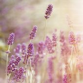 picture of lavender field  - Beautiful lavender flower in my flower garden