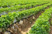 stock photo of strawberry plant  - Strawberry Plants shows  In Row At Field - JPG