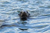 image of sea lion  - A sea lion swims in Yaquina Bay in Newport Oregon. ** Note: Visible grain at 100%, best at smaller sizes - JPG