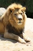 foto of african lion  - African Lion apex predator of the savanna - JPG