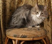 picture of stool  - Fluffy gray and white cat sitting on stool on background of curtains - JPG