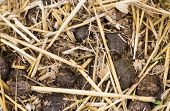 picture of donkey  - Close up of donkey manure mixed in with straw - JPG