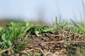 image of lizard skin  - Green striped and spotted a lizard in the grass