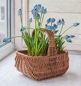 stock photo of nod  - Cultivation muscari in pots and in the rural baskets on the balcony window - JPG