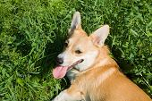 image of corgi  - A Welsh Corgi Pembroke dog on the meadow - JPG