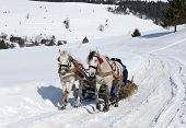 foto of running horse  - drawn sleigh two horses running on a snowy road in the rural highlands - JPG
