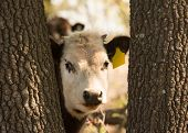 stock photo of steers  - Young white faced steer peeking curiously through tree trunks at the viewer - JPG