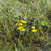 picture of swamps  - Abundance of yellow wildflowers along swamp concept of season change - JPG