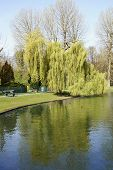 stock photo of weeping willow tree  - BRUSSELSBELGIUM 16 APRIL 2015 - JPG