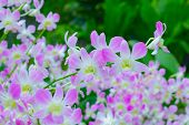 pic of orquidea  - Beautiful violet Orchids Phalaenopsis Hybrid flower in the garden - JPG