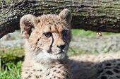 stock photo of cheetah  - A closeup of the head of a cheetah cub - JPG