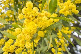 picture of mimosa  - Acacia dealbata flower  - JPG