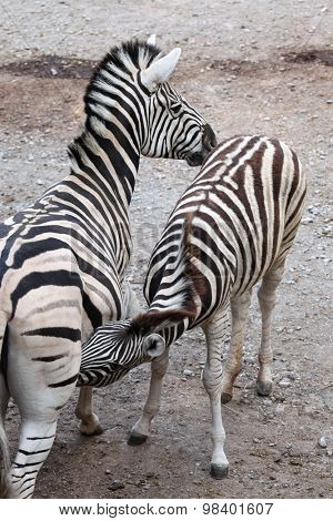 Burchell's zebra (Equus quagga burchellii), also known as the Damara zebra feeding its foal. Wild life animal.